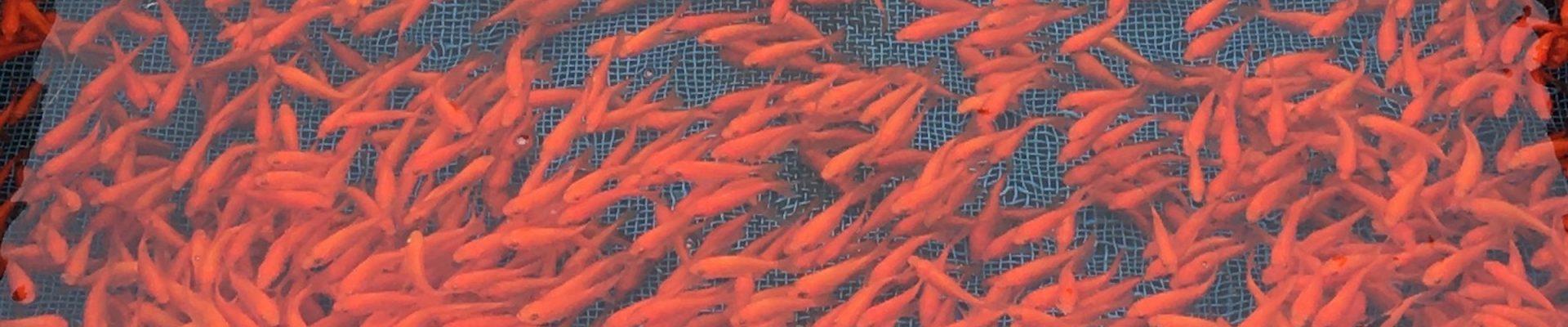 【イベント報告】まちなか金魚生息地マップ作り!で、800枚を超える金魚画像を収集!